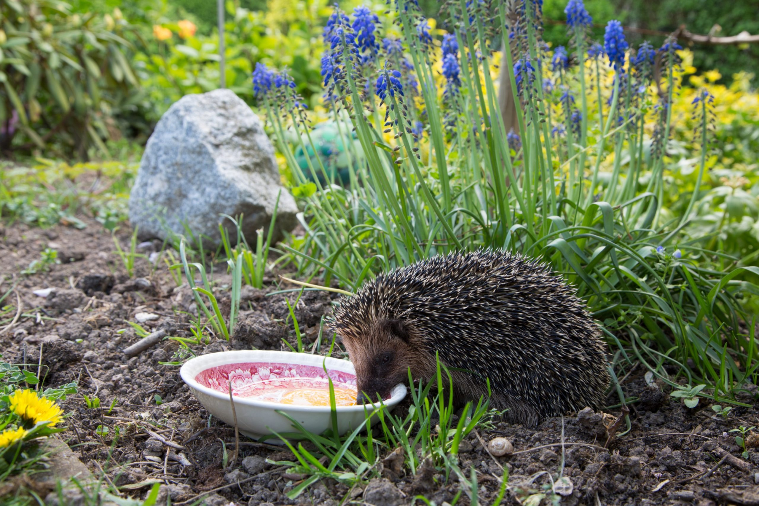 Hedgehog Garden